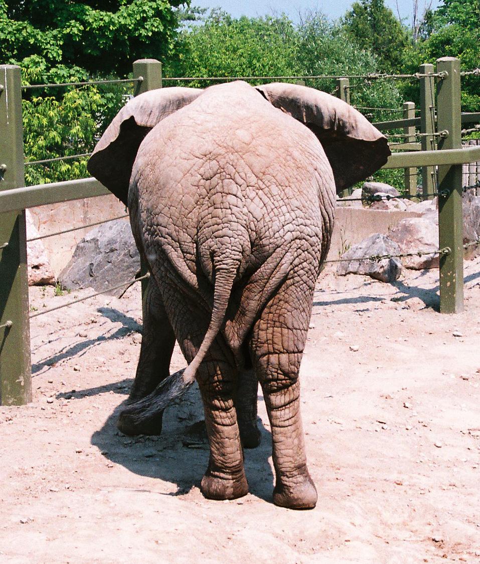 Elephant ass